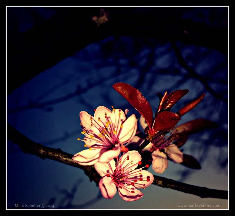 """Cherry Blossoms at Dusk""  Mark Schutter ©2014 (Taken with Samsung Galaxy S4)"