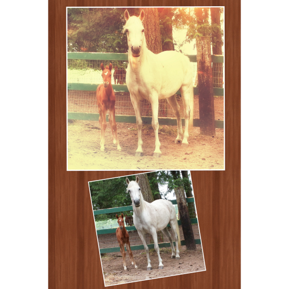 Arabians - Mare and 8 day old foal.